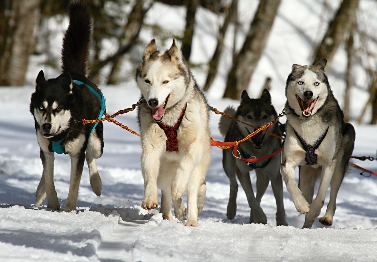 Hundeanhänger Jogger kaufen