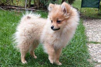 Iiᐅ Erstausstattung Pomeranian Zwergspitz Welpe Kaufen